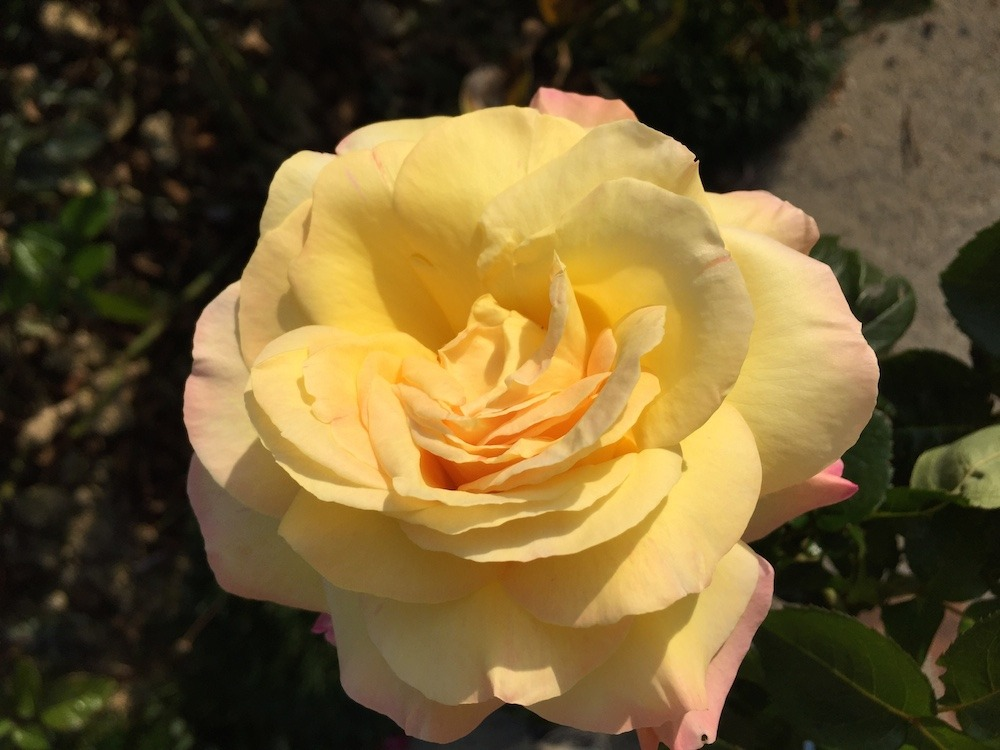 exemple-photo-rose